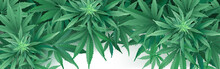 Cannabis Or Marihuana Leaves Background.