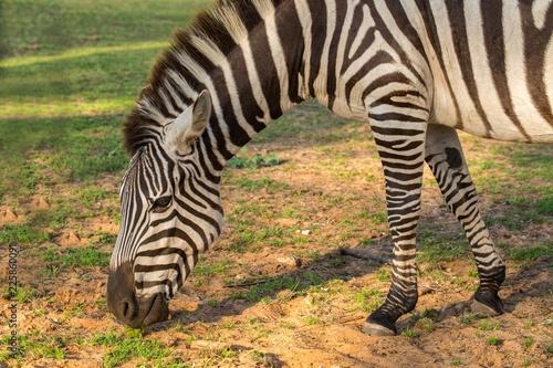 Zebra eating background