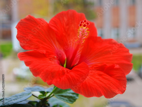 Poster Poppy Red hibiscus flower.
