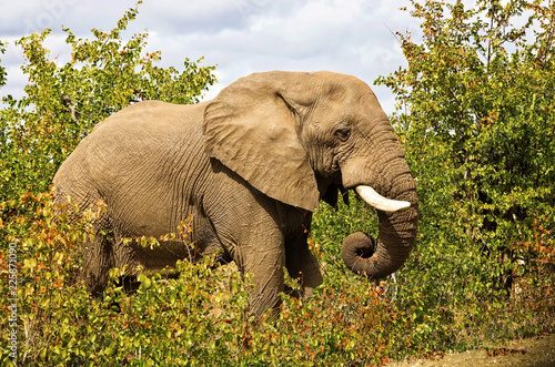 Foto op Aluminium Olifant African elephant in the Kruger National Park, South Africa