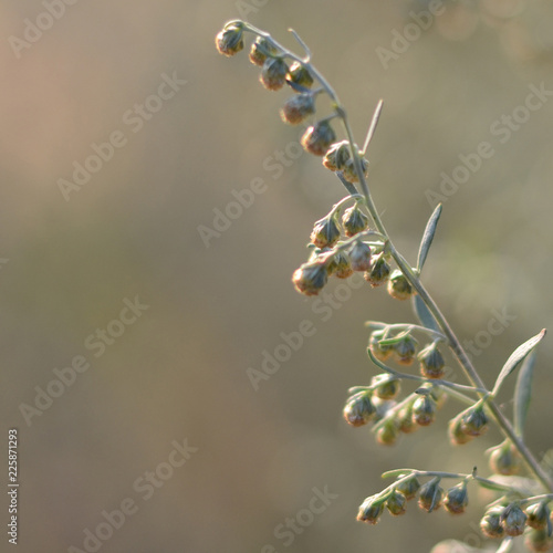 Fotografia  Wormwood. Flowering absinthium. Medicinal plant. Background blur.