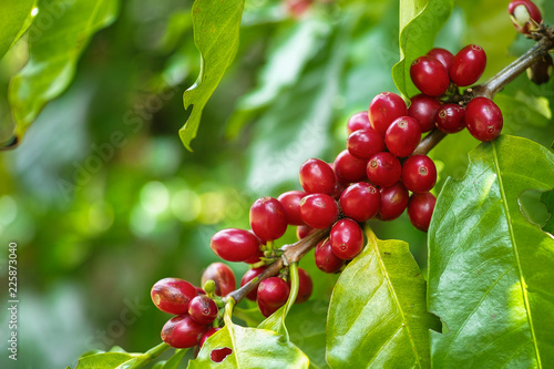 Vászonkép Red Cherry coffee beans on the branch of coffee plant before harvesting