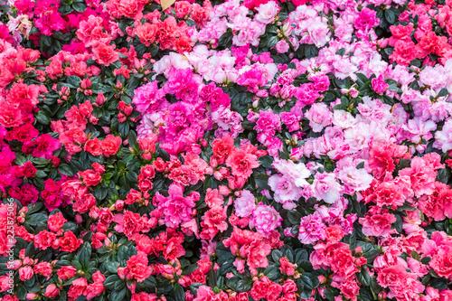 Papiers peints Azalea Azalea flower in the garden. Garden of pink and red flowers. Flowers garden in springtime.