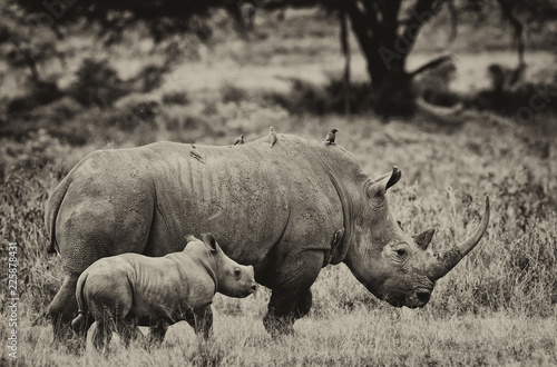 Fotografija  Rhinoceros in the Lake Nakuru National Park, Kenya
