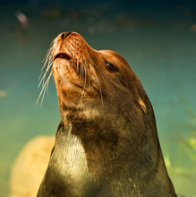 California Seals Commonly Called Sea Lions In Morro Bay, California, USA
