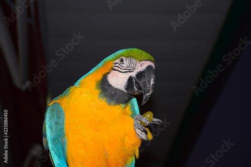 Staande foto Papegaai Parrot eating grape