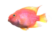 Red Blood Parrot Fish On White