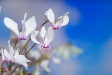 White Wild Cyclamen Or Alpine Violet