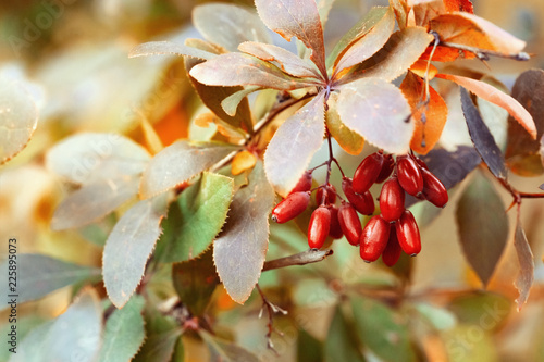 Foto op Canvas Herfst Natural autumnal background with berries of barberry. Selective focus. Autumn landscape, autumn colors.