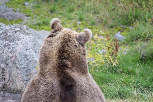 Brown bear resting on grass