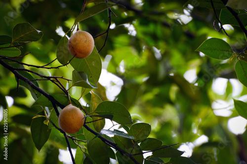 Fruits hanging on a fragrant nutmeg tree, scientific name Myristica fragrans