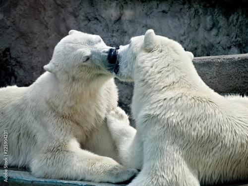 Foto op Plexiglas Ijsbeer Küssende Eisbären