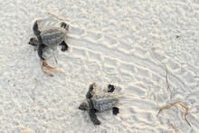 Baby Turtles And Tracks