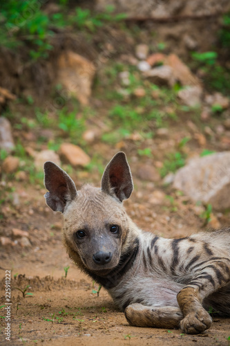 In de dag Hyena A grey ghost or striped Hyena sighted in evening safari at Jhalana Forest Reserve
