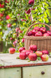Fresh ripe red apples in wooden basket on garden table