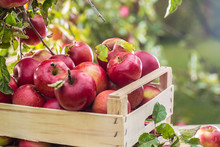 Fresh Ripe Red Apples In Wooden Crate On Garden Table