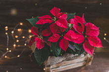 Christmas Poinsettia Isolated In Wooden Box On The Vintage Rustic Background. Toned Image.