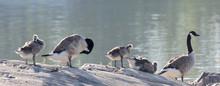 Canada Goose Bird Family In Ea...