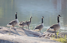 Canada Goose Bird Family In Early Morning Light Standing On A Rock By The Sea (latin: Branta Canadensis)