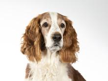 Welsh Springer Spaniel Dog Por...