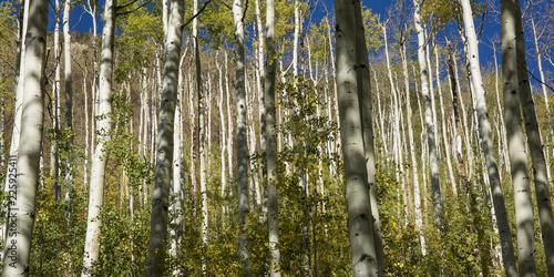 Aspen trees in Colorado focusing on the tree trunks, fall 2018