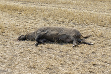 Dead Boar On Harvested Field