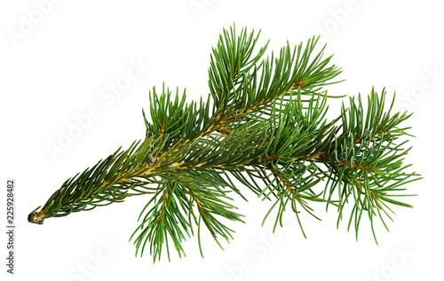 Twig of Christmas tree