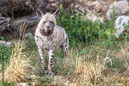 Foto op Plexiglas Hyena The striped hyena (Hyaena hyaena), wild beast.
