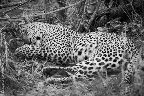 Poster Leopard monochrome image of a wild male leopard sleeping in the Greater Kruger National Park