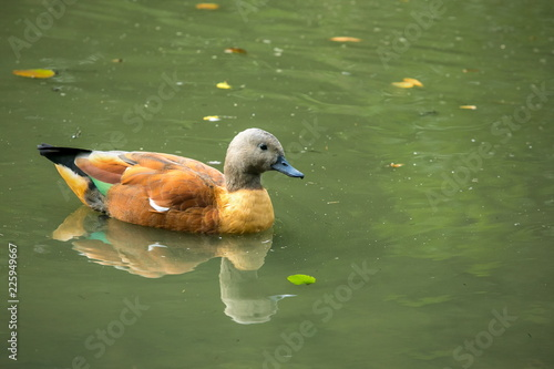 Colorful South African shelduck male with grey head, black eye and