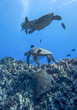 Four Sea Turtles and Fish Swimming over Reef in Deep Blue