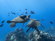 Pair of Sea Turtles with Black Fish in Blue Sea