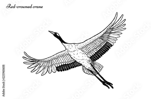Red Crowned Crane Vector Flying By Hand Drawingbeautiful Bird On
