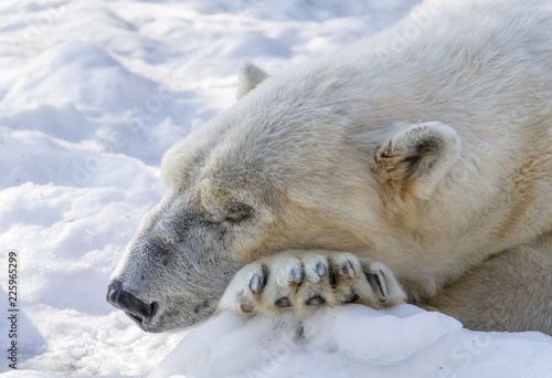 Tuinposter Ijsbeer Polar Bear Sleeps While Resting Its Head On Its Paws