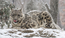 Snow Leopard Licking Muzzle An...