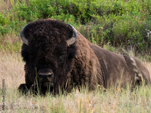 Canvas Prints Bison American bison on a meadow in National Bison Range, a wildlife refuge in Montana, USA