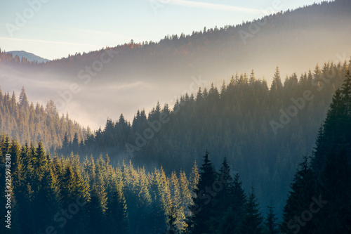 Poster Morning with fog wonderful autumn weather with fog over the spruce forest. mysterious scenery in mountains
