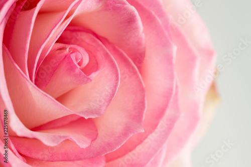 rose de couleur rose et blanche en gros plan avec lumière forte en ...