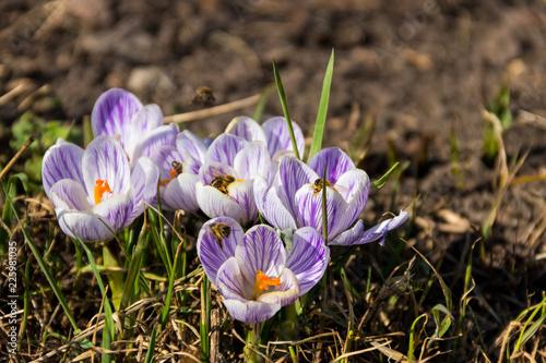 Spoed Foto op Canvas Krokussen Purple crocus flowers in the garden on spring