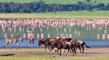 Wildebeests In The Ngorongoro ...