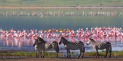 FototapetaZebras and wildebeests in the Ngorongoro Crater, Tanzania