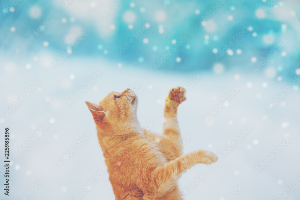 Portrait of a red cat outdoors in snowy winter. The begging cat catches snowflakes