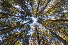 Conifers Forest From The Frenc...