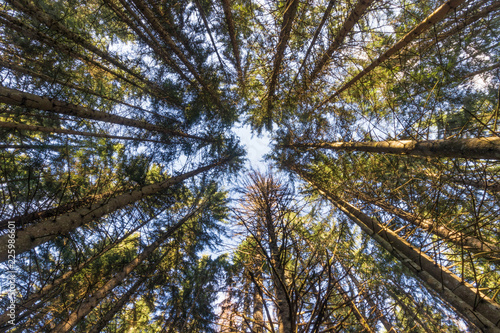 Conifers forest from the French Alps Wallpaper Mural