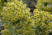 Palisaden-Wolfsmilch (Euphorbia Characias) Pflanze Mit Blüten