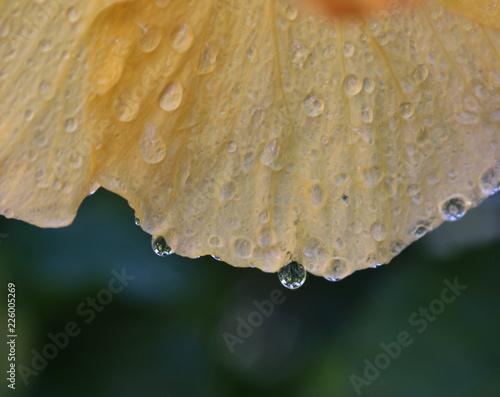 Fotografie, Obraz  Gocce di pioggia  sulle piante