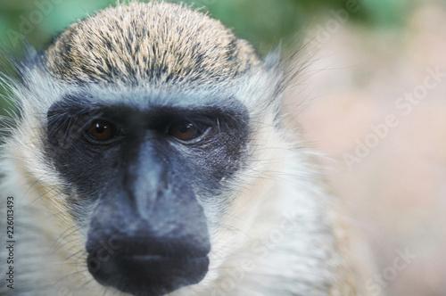 Fotografie, Obraz  Mamifère, primate de la famille des cercopithecidae, Singe Grivet vue de face