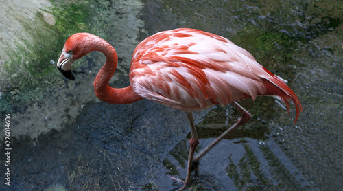 Foto op Aluminium Flamingo A large flamingo bird walks in the zoo nursery.