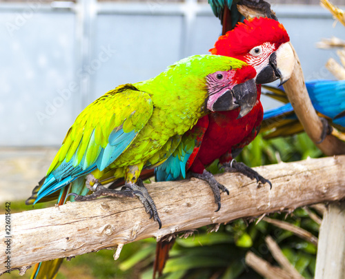 A pair of macaw parrots sit on a branch in the zoo.