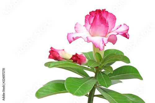 Papiers peints Azalea Pink adenium flower isolated on white background